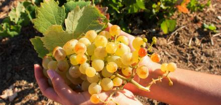 Wine grapes harvest