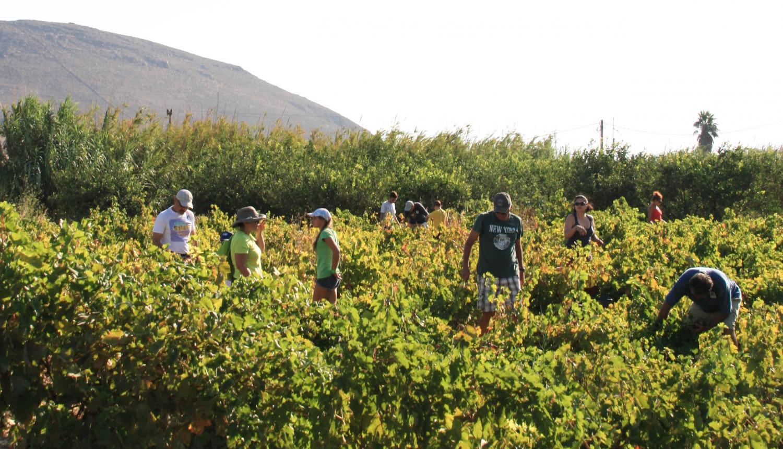 Wine grapes harvest